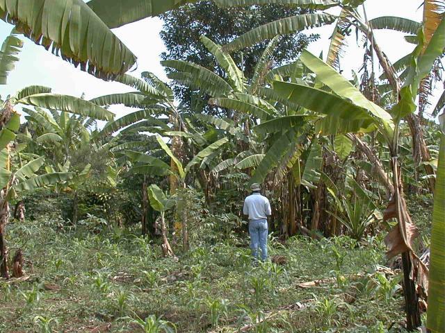 Intercropping in upland Burundi, central Africa
