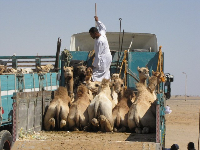 For 100s of years  one of the largest camel markets in the region is at Shalatein.  Camels are brought up to the site from eastern and western Sudan and, as here, may be trucked into the Nile Valley or driven by camel caravan.  Source -  www.redsea.gov.eg  shalatein