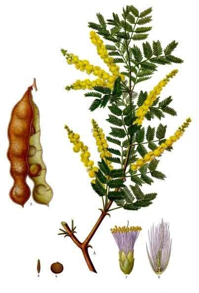 Acacia_senegal_-_Köhler–s_Medizinal-Pflanzen-004.  Source - Wikipedia