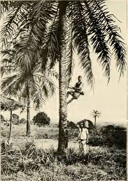 While women do the gardening, men are responsible for tending The palm trees in the gardens.  Source - Mary Kingsley, West African Studies, 1899.