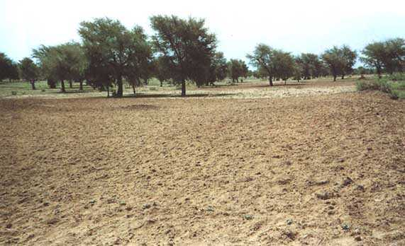 The dry land forests of the Sahel region provide a rich habitat for people, livestock and wildlife.  Source - FAO