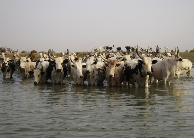 Cattle crossing the Niger River.  Source - philintheblank-net
