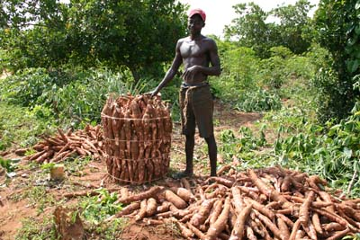 Farmer carefully packing harvested cassava tubers for transportation to the market in Bungu, Tanzania. Cassava is a staple food for food security. Photo by Kanju/IITA. (file name: CA_PR_101).
