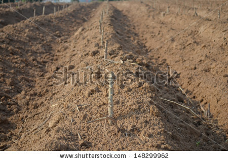Moundng up cassava for egrowth.  Source - stock-photo-start-cultivation-cassava-or-manioc-plant-field-at-thailand-148299962