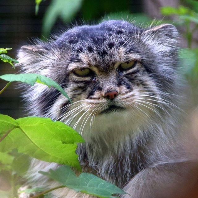 · Le Manul ou chat de Pallas FB
